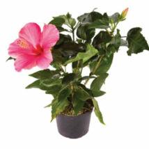 Hibiscus rosa-sinensis / Kínai hibiszkusz