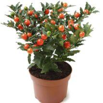 Solanum Pseudocapsicum / Korallbokor