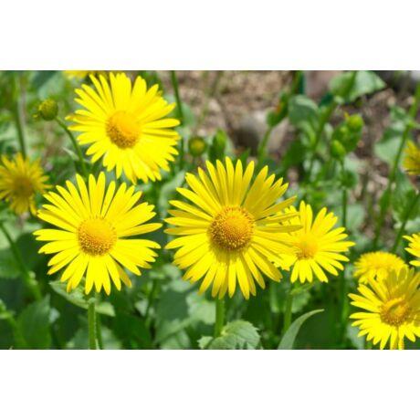 Doronicum grandiflorum / Zergevirág