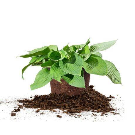 Hosta hybrida 'Brim cup' / Árnyékliliom