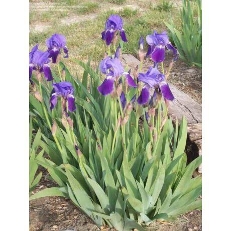 Iris germanica / Kerti nőszirom