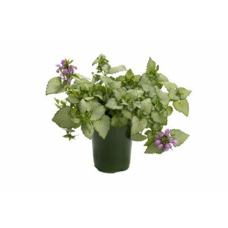 Lamium maculatum 'Beacon silver' / Árvacsalán