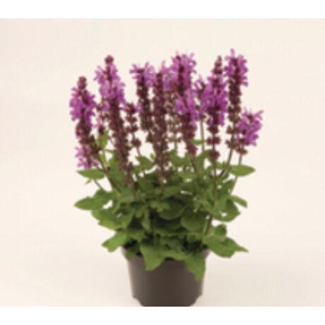 Salvia nemorosa 'Caradonna' / Ligeti zsálya