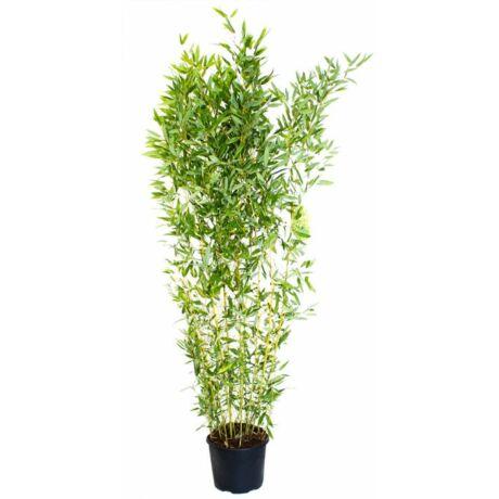 Bambusa aurea / Arany bambusz