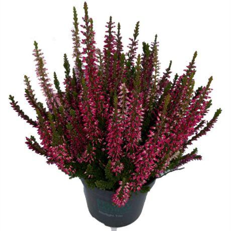 Calluna vulgaris / Közönséges csarab