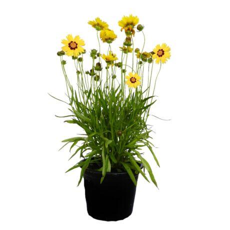 Coreopsis grandiflora 'Sunkiss' / Nagyvirágú menyecskeszem