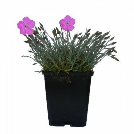 Dianthus gratianopolitanus 'Feuerhexe' / Pünkösdi szegfű
