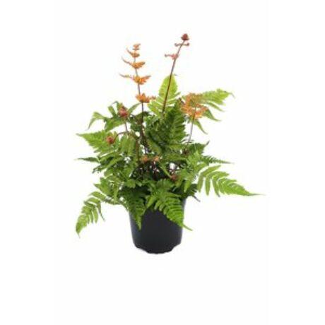 Dryopteris erythrosora / Vörösfátyol páfrány