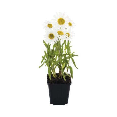 Leucanthemum maximum / Margaréta