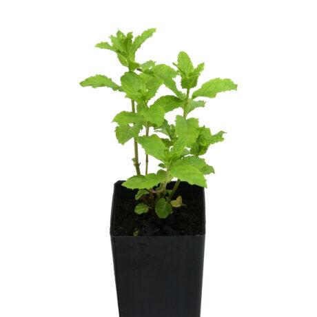 Mentha spicata 'Crispa' / Fodormenta