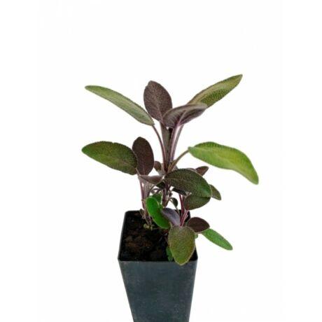 Salvia officinalis 'Purpurascens' / Bordó orvosi zsálya