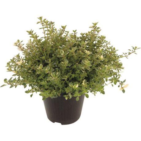 Thymus x citriodorus 'Silver Queen' / Citromillatú kakukkfű