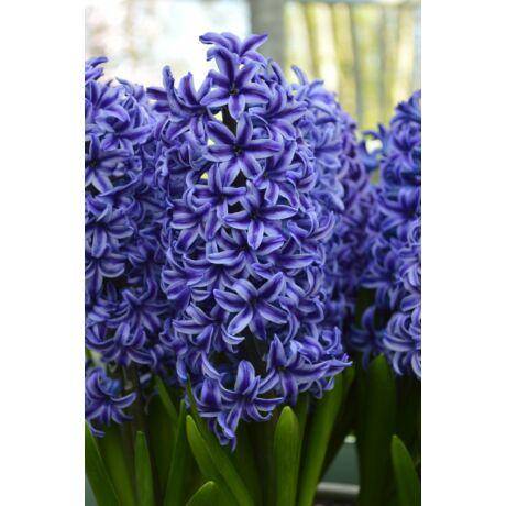 Hyacint Blue Jacket / Jácint