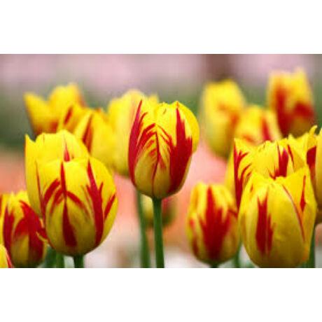 Tulipán Rembrandt Washington