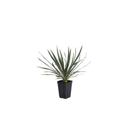 Yucca filamentosa / Kerti pálmaliliom