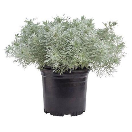 Artemisia schmidtiana 'Silver Mound' / Japán üröm