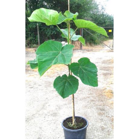 Paulownia tomentosa / Kínai császárfa