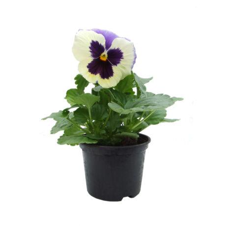 Viola x Wittrockiana / Árvácska