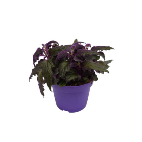 Gynura scandens / Csüngő lilacserje