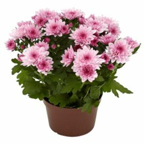 Chrysanthemum / Krizantém