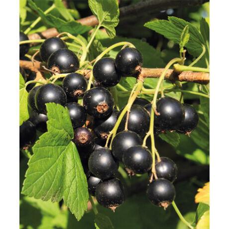 Ribes nidigrolaria / Josta-szabadgyökeres