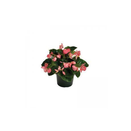 Begonia cucullata / Folytonnyíló begónia (bordó levelű rózsaszín virágú)