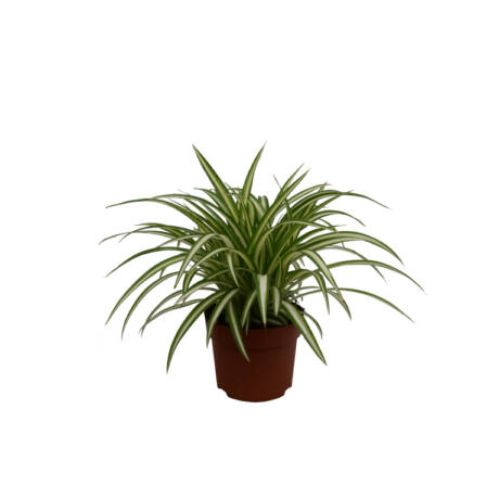 Chlorophytum comosum  'Variegatum'  / Csokrosinda