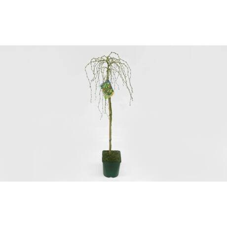 Caragana arborascens 'Walker' / Keskenylevelű csüngő borsófa