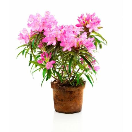 Rhododendron hybrid 'Goldfinger' / Rododendron