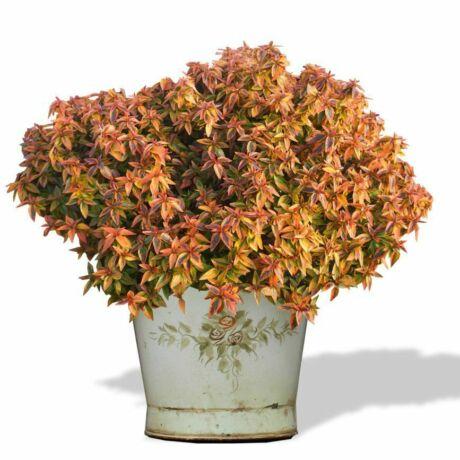 Abelia grandiflora 'Kaleidoscope' / Nagyvirágú tárnicslonc