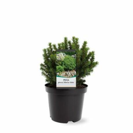 Picea glauca 'Alberta globe' / Gömb cukorsüvegfenyő
