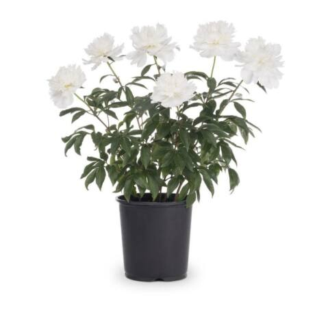 Paeonia lactiflora 'Shirley Temple' / Illatos bazsarózsa