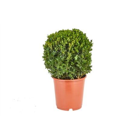 Buxus sempervirens 'Suffruticosa' / Gömb buxus
