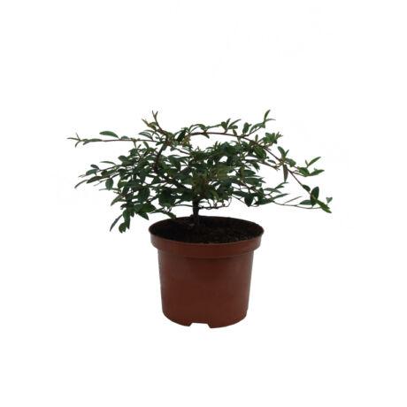 Cotoneaster salicifolius 'Parkteppich' / Madárbirs