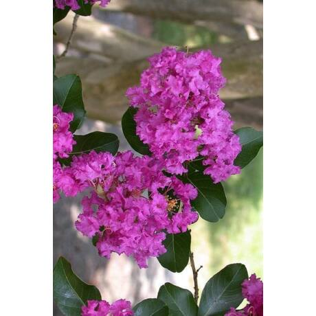Lagerstroemia indica 'Zuni' / Kínai selyemmirtusz (lila)