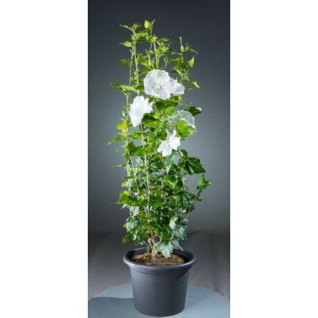Hibiscus syriacus 'Diana' / Fehér virágú mályvacserje