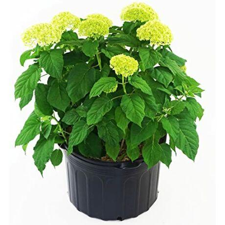 Hydrangea arborescens 'Annabelle' / Cserjés hortenzia