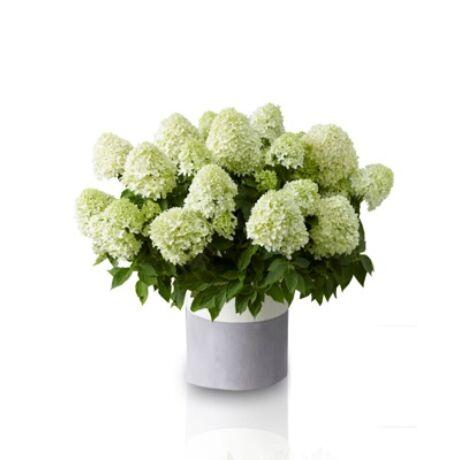 Hydrangea paniculata / Bugás hortenzia
