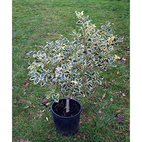 Ilex aquifolium 'Variegata' / Magyal