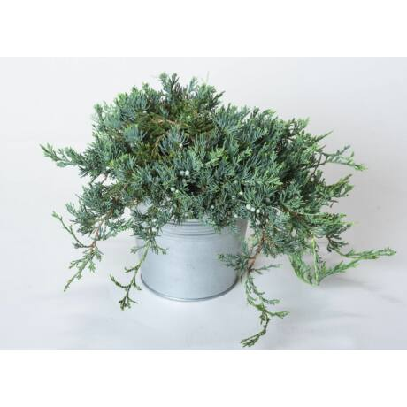 Juniperus horizontalis 'Glauca' / Kék kúszó henyeboróka