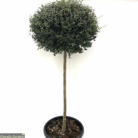 Ligustrum delavayanum 'Jonandrum' / Törpe fagyal