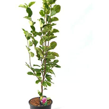 Magnolia 'Yellow bird' / Nagyvirágú liliomfa