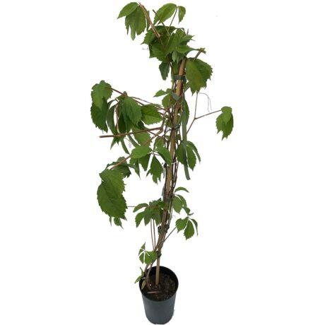 Parthenocissus quinquefolia / Tapadó vadszőlő