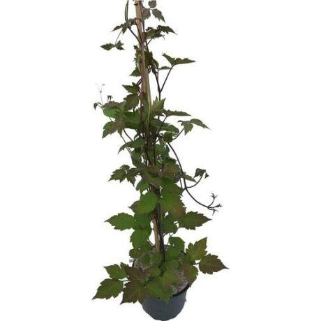 Parthenocissus tricuspidata 'Veitchii' / Repkény vadszőlő