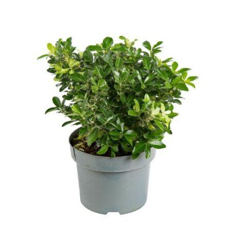 Euonymus japonicus 'Pierrolino' / Japán kecskerágó 'Pierrolino'