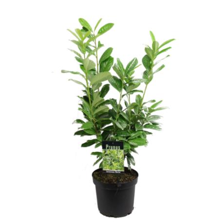 Prunus laurocerasus 'Baumgartner' / Babérmeggy
