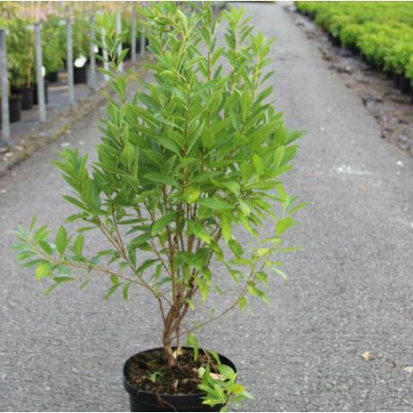 Prunus tenella 'Kati' / Törpe díszmandula