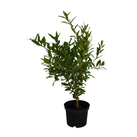 Punica granatum  /  Gránátalma (gyümölcstermő)