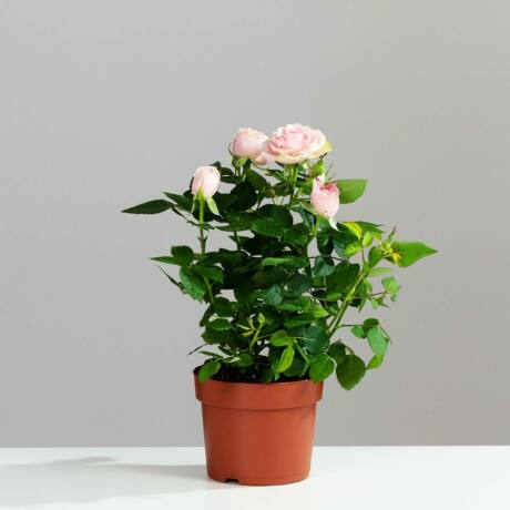 Rosa 'Fairy Gold' / Talajtakaró rózsa (sárga)