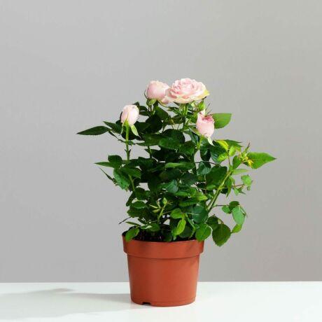 Rosa 'The Fairy' / Talajtakaró rózsa (halvány rózsaszín)